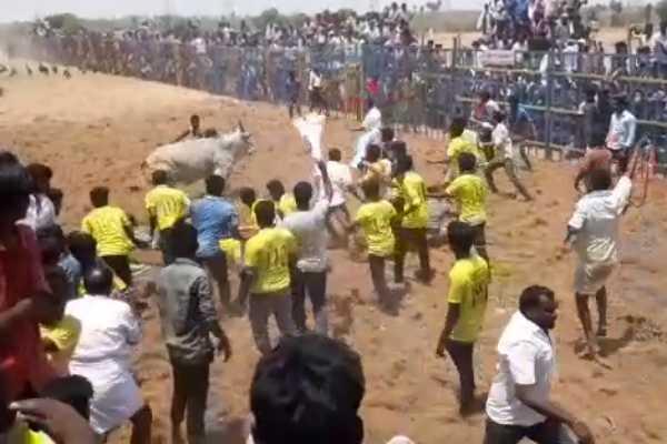jallikattu-competition-more-than-700-bulls-participating