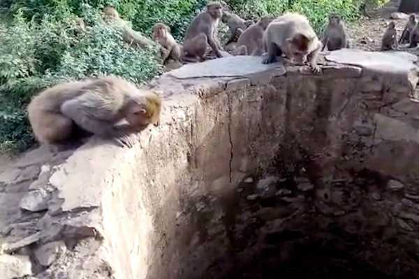 15-monkeys-die-in-madhya-pradesh-forest-officials-blame-fight-for-water