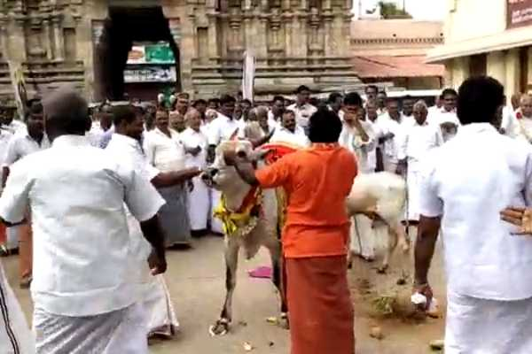 minister-worship-the-cow-was-disturbed