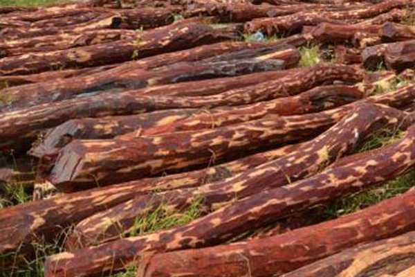 500-kg-semmarakkattaikal-seized