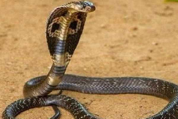 mumbai-woman-shows-presence-of-mind-carries-snake-to-hospital-after-it-bit-her