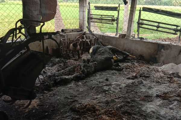 kumbakonam-pregnant-cow-death-in-fire