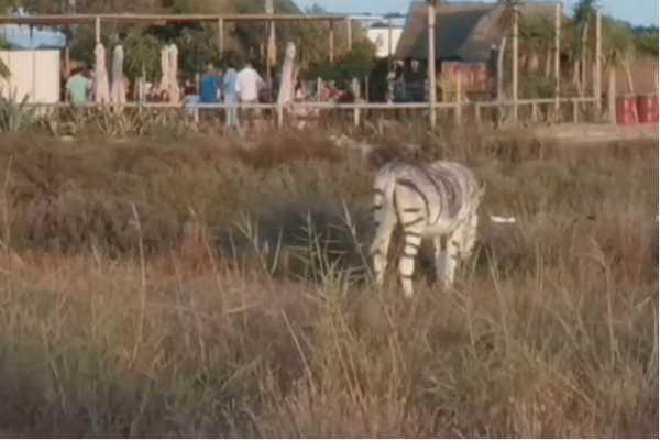 donkeys-painted-as-zebras