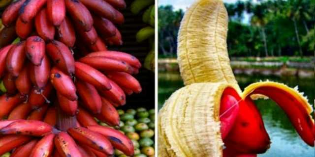 benefits-of-red-bananat