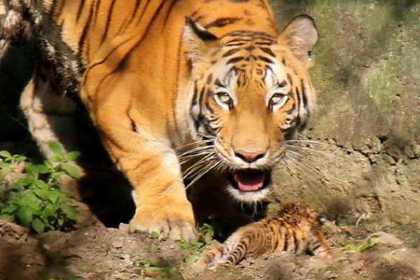 enraged-villagers-beat-tigress-to-death-in-uttar-pradesh