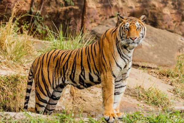2-967-tigers-in-india-information-on-2018-census
