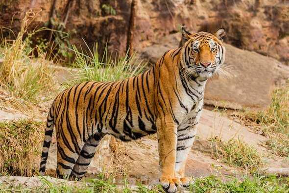 international-tigers-day