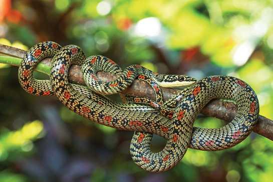 flying-snake-captured-in-odisha