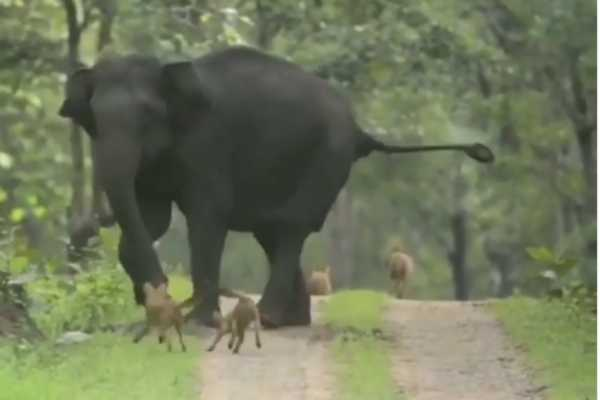 the-single-elephant-chase-by-wild-dogs-in-mudumalai