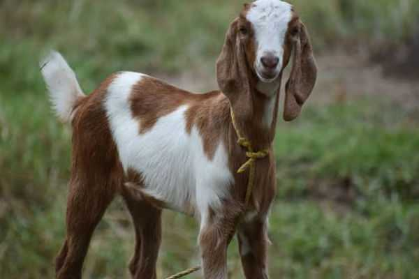 even-goats-cannot-escape-from-telangana-police