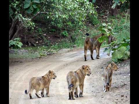 pride-of-lions-found-roaming-on-road-in-gujarat-s-junagadh-video-goes-viral
