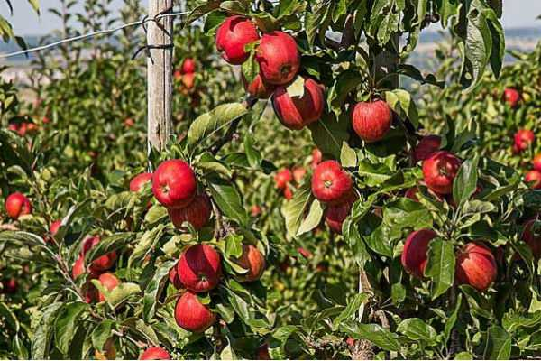kashmir-seems-lifeless-in-the-absence-of-trading-of-apples