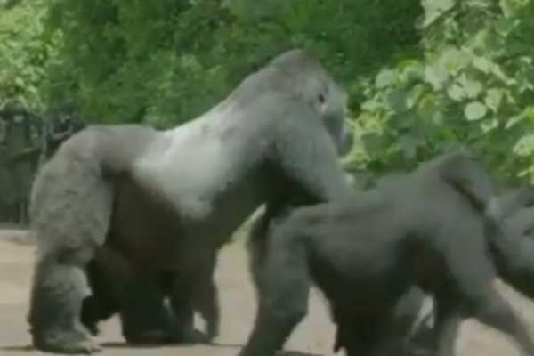 gorilla-fixing-the-traffic-for-his-family