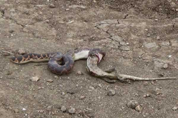 a-snake-swallowed-a-lizard