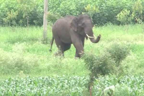 single-wild-elephant-circling-forest-department-alert