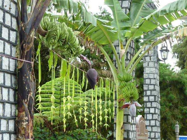 impoartants-of-banana-tree