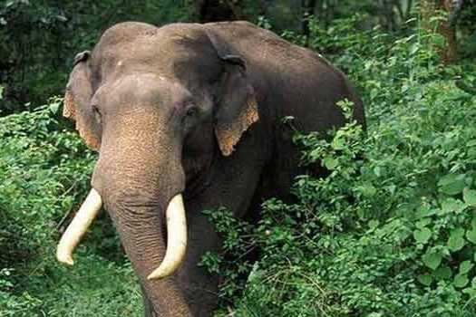 wild-elephant-kills-woman-attacked