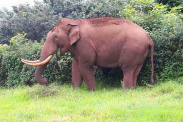 plans-to-bring-another-kumki-elephant-for-expel-the-wild-elephant