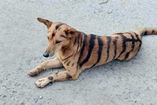 karnataka-farmer-paints-tiger-stripes-on-dog-to-save-crop-from-monkeys