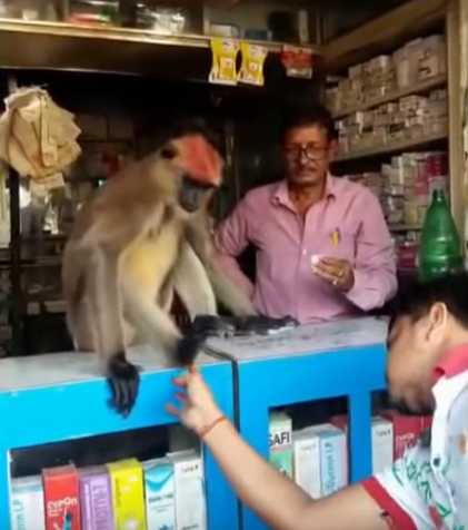a-monkey-that-get-medicines-from-medical-shop-goes-viral-on-social-media