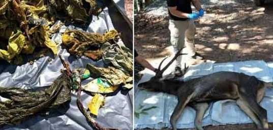 7-kg-plastic-found-in-dead-deer